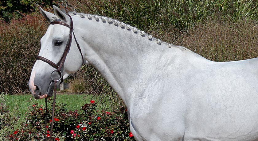 Warmblood-Jumper-Stallion-Show-Jumping-Horses-2