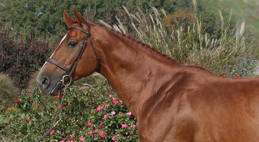 Warmblood Show Jumping Stallion at Hyperion Stud Jumpers