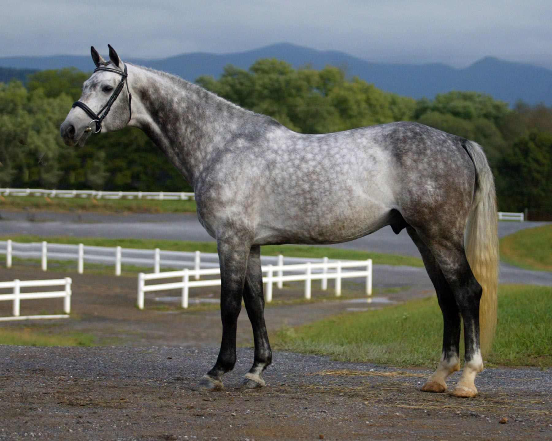 Cicera's Icewater - Warmblood Stallion Owned by Hyperion Stud
