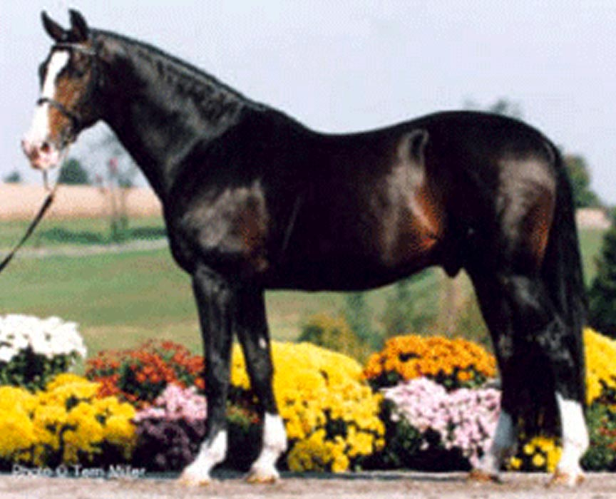 Iron Spring Farm Stallion Consul Offspring for Sale at Hyperion Stud